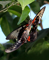 Scarlet Swallowtails mating