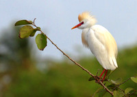 Tobago Wetland & Sea Birds